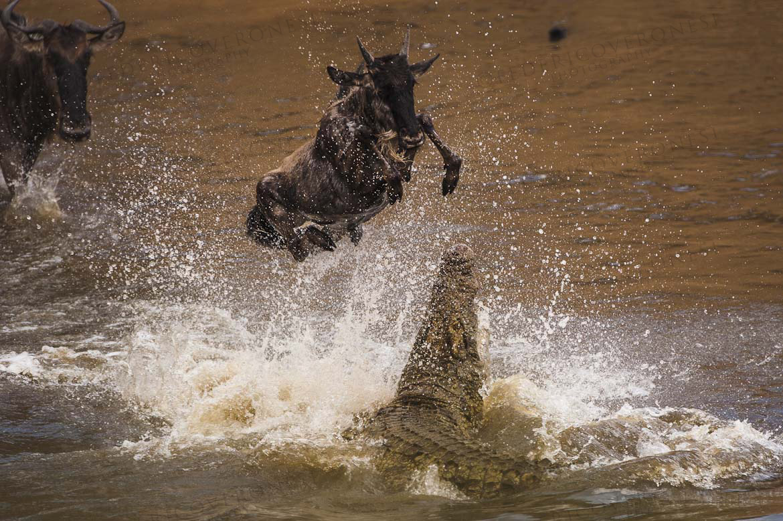 Nile Crocodile attacking Wildebeest calf during Mara river great migration crossing. MASAI MARA, KENYA